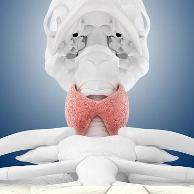 Thyroid Anatomy, Artwork Art Print by Science Photo Library