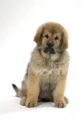 Mastiff Puppy Photograph - Tibetan Mastiff Puppy by John Daniels