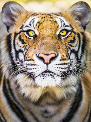 Photograph - Tiger by Deimagine