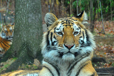 Photograph - Tiger Bronx Zoo by Diane Lent