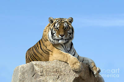 Photograph - Tiger by Mark Newman