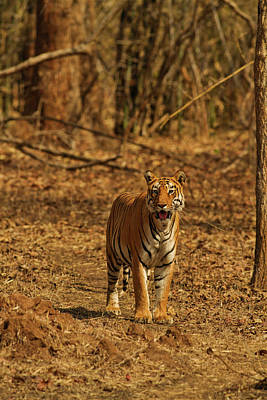 Bamboo Photograph - Tiger On The Move In Bamboo Forest by Jagdeep Rajput