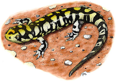 Salamanders Photograph - Tiger Salamander by Roger Hall