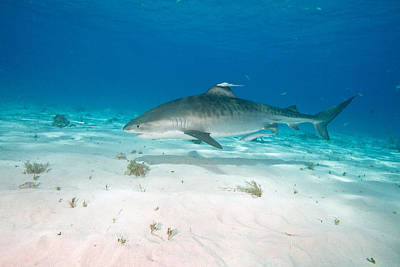 Remoras Photograph - Tiger Shark by Andrew J. Martinez