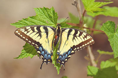 Photograph - Tiger Swallowtail by Alan Lenk