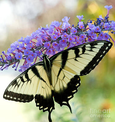 Virginia Butterfly Photograph - Tiger Swallowtail Butterfly by Iris Richardson