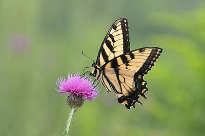 Photograph - Tiger Swallowtail On Thistle  by Alan Lenk