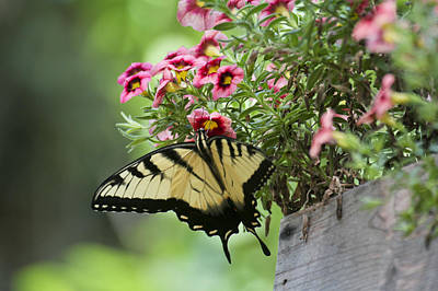 Photograph - Tiger Swallowtail by Robert Camp