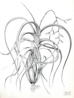Tillandsia Flexuosa Art Print by Penrith Goff