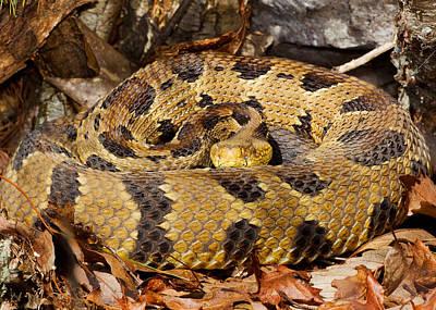Timber Rattler Photograph - Timber Rattlesnake by Jim Zipp