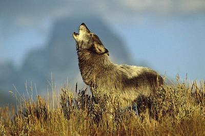 Wolves Photograph - Timber Wolf Howling Idaho by Tom Vezo