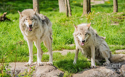 Photograph - Timber Wolves by Cheryl Baxter