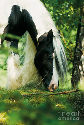 Gypsy Cob Photograph - Tinker Horse by Gabriele Boiselle