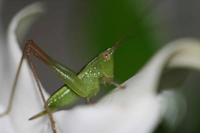 Nature Photograph - Tiny Cricket by Lisa Vaccaro