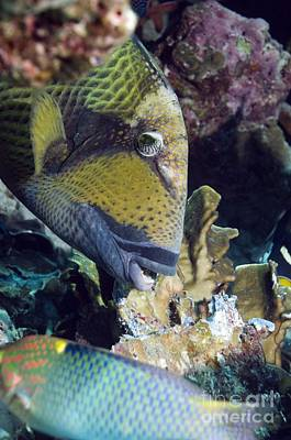 Triggerfish Photograph - Titan Triggerfish Breaking Up Coral by Georgette Douwma