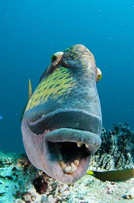 Titan Triggerfish Art Print by Science Photo Library