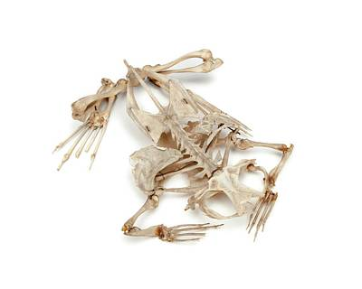 Toad Photograph - Toad Skeleton by Ucl, Grant Museum Of Zoology