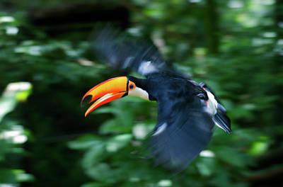 Toucan Photograph - Toco Toucan (ramphastos Toco by Andres Morya Hinojosa
