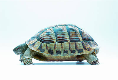Tortoise Art Print by Gustoimages/science Photo Library