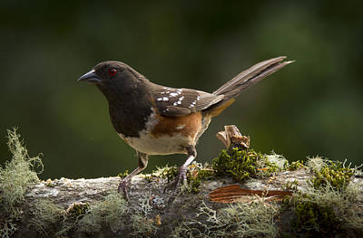 Sparrow Photograph - Towhee by Jean Noren