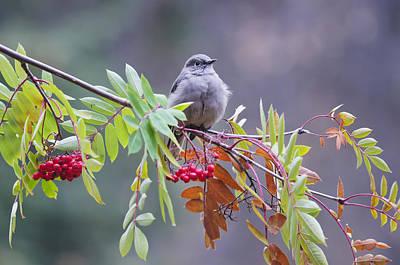Alaska Wildlife Photograph - Townsends Solitaire Myadestes Townsendi by Kenneth Whitten