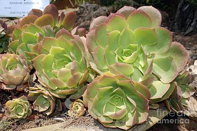 Aeonium Photograph - Tree Aeonium Rosettes by PhotoStock-Israel