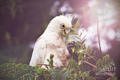 Cockatoo Photograph - Tree Dweller by Kym Clarke
