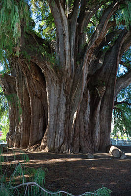Montezuma Photograph - Tree Of Tule by Jim West