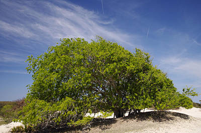Photograph - Tree On Dunes by Byron Jorjorian