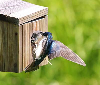 Tree Swallow Feeding Young Art Print