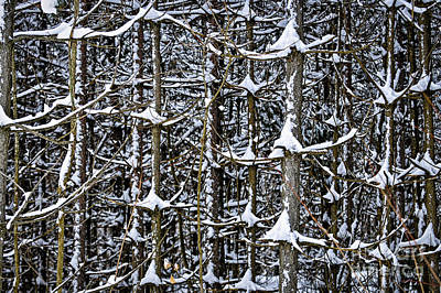 Winter Trees Photograph - Tree Trunks In Winter by Elena Elisseeva