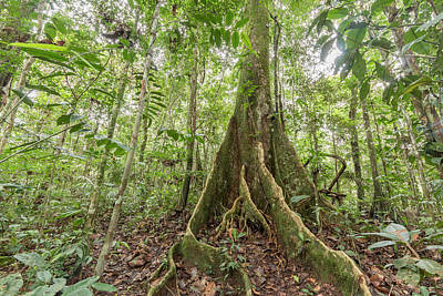 Plant Roots Photograph - Tree With Buttress Roots by Dr Morley Read