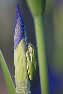 Louisiana Swamp Photograph - Treefrog And Wild Iris by Julie Dermansky