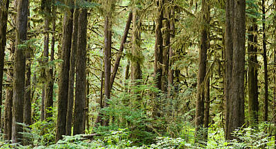 Olympic Peninsula Photograph - Trees In A Forest, Quinault Rainforest by Panoramic Images