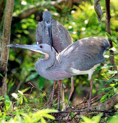 Photograph - Tricolor Heron Adults In Breeding by Millard H. Sharp
