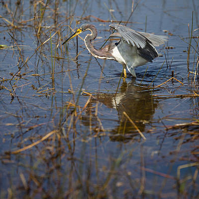 Heron Photograph - Tricolored Heron Fishing On Everglades Swamp  by Alex Potemkin