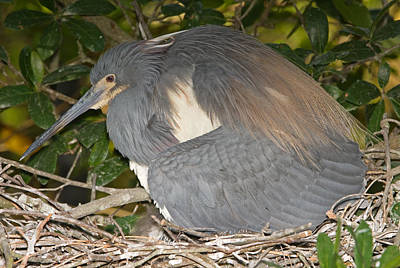 Photograph - Tricolored Heron Protecting Young by Millard H. Sharp