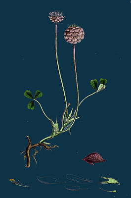 Strawberries Drawing - Trifolium Fragiferum Strawberry-headed Trefoil by English School