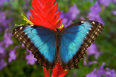 Morpho Wall Art - Photograph - Tropical Butterfly The Blue Morpho by Darrell Gulin