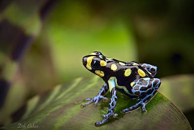 Frogs Photograph - Tropical Poison Dart Frog by Dirk Ercken