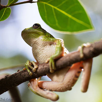 Frogs Photograph - Tropical Tree Frog by Dirk Ercken
