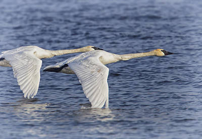 Photograph - Trumpeter Swans by Al  Mueller