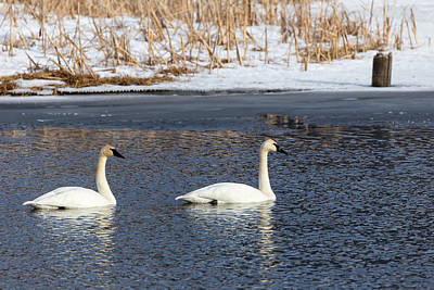 Photograph - Trumpeter Swans by Michael Chatt