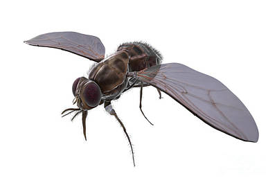 Tsetse Fly Art Print by Science Picture Co