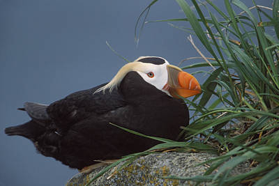 Ledge Photograph - Tufted Puffin Perched On Rock Ledge by Milo Burcham