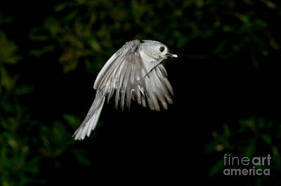 Parus Bicolor Photograph - Tufted Titmouse by Anthony Mercieca