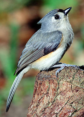 Photograph - Tufted Titmouse by Millard H. Sharp