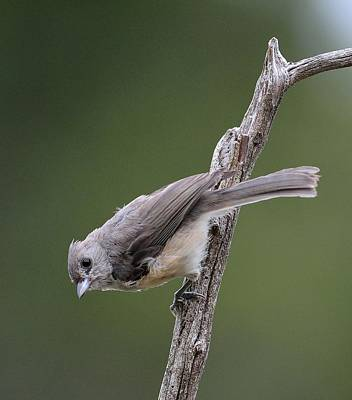 Tufted Titmouse Photograph - Tufted Titmouse by Todd Hostetter