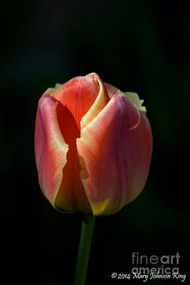 Mary King Photograph - Tulip 1 by Mary  King