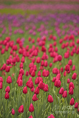 Photograph - Tulip Beds Forever by Joshua McCullough